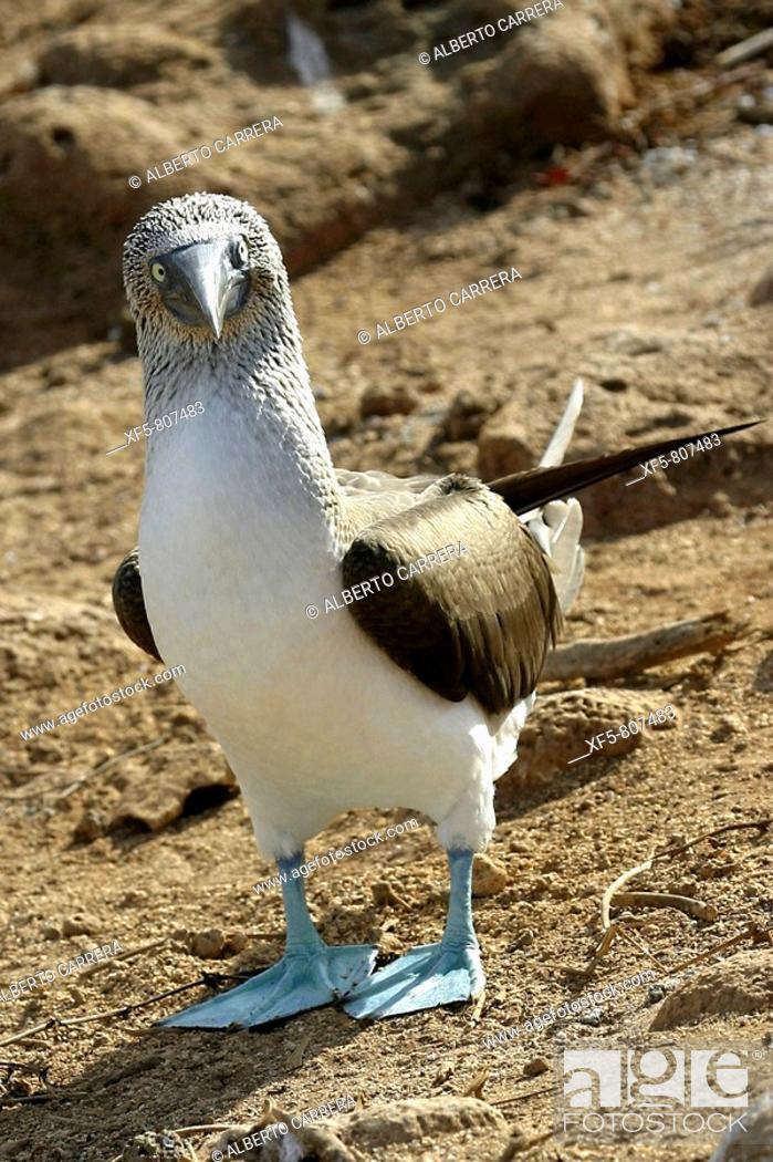 Stock Photo: Blue-footed Booby. Galapagos Islands, Ecuador.