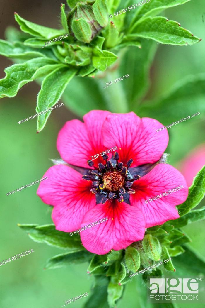 Imagen: Potentilla nepalensis ' Helen Jane '.