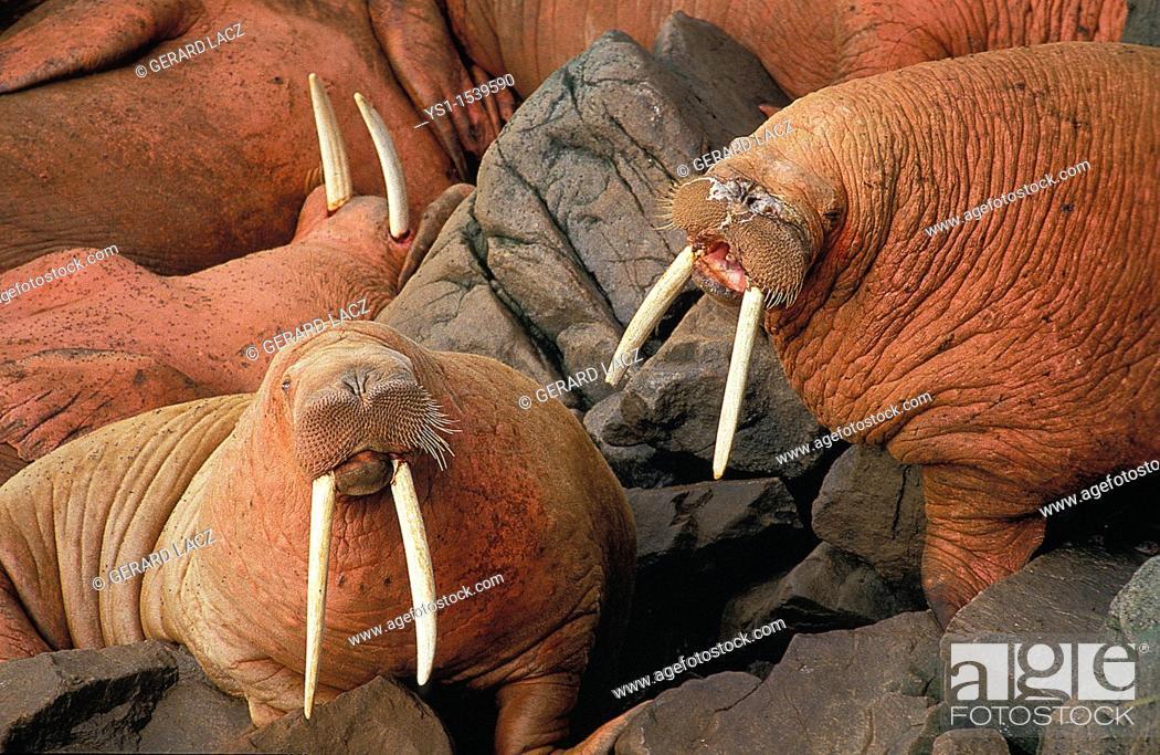 Stock Photo: Walrus, odobenus rosmarus, Colony standing on Rocks, Round Island in Alaska.