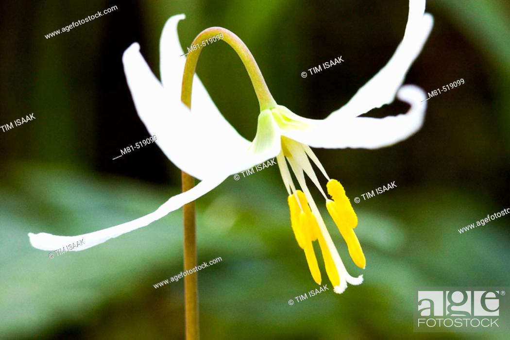 Stock Photo: White Fawn Lily (Erythronium oregonum) at Bear Hill Regional Park. Saanich, British Columbia, Canada, 4 April 2006.