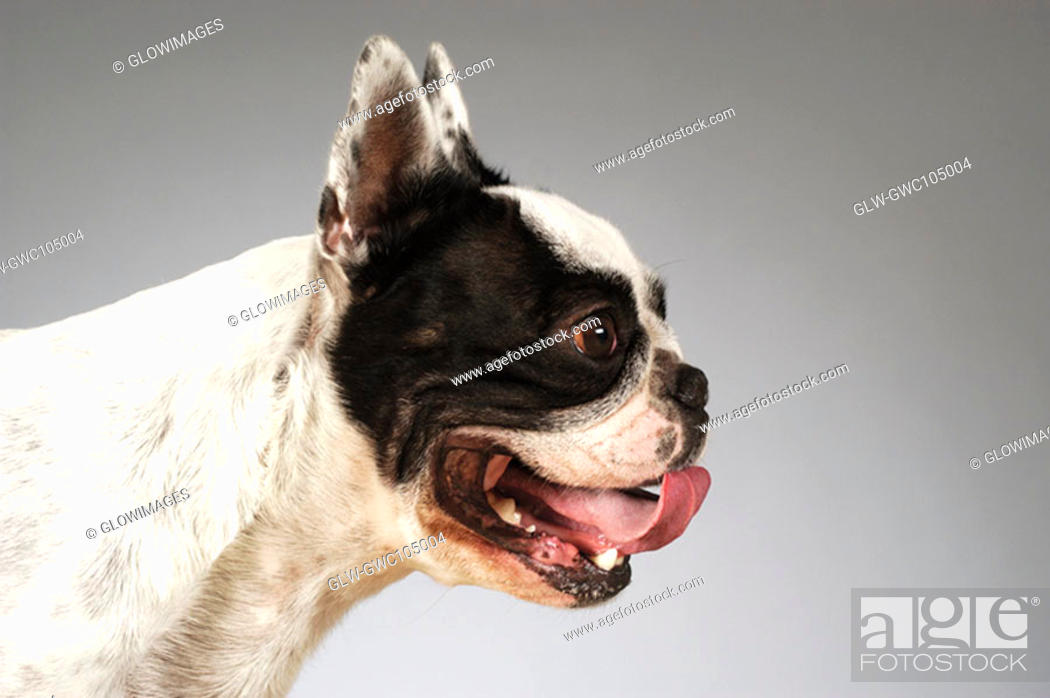 Stock Photo: Side profile of a Boston Terrier sticking out its tongue.