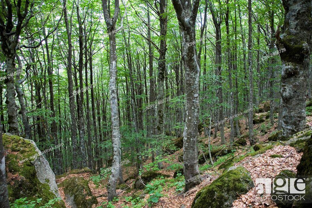 Stock Photo: europe, italy, tuscany, amiata mountain, wood.