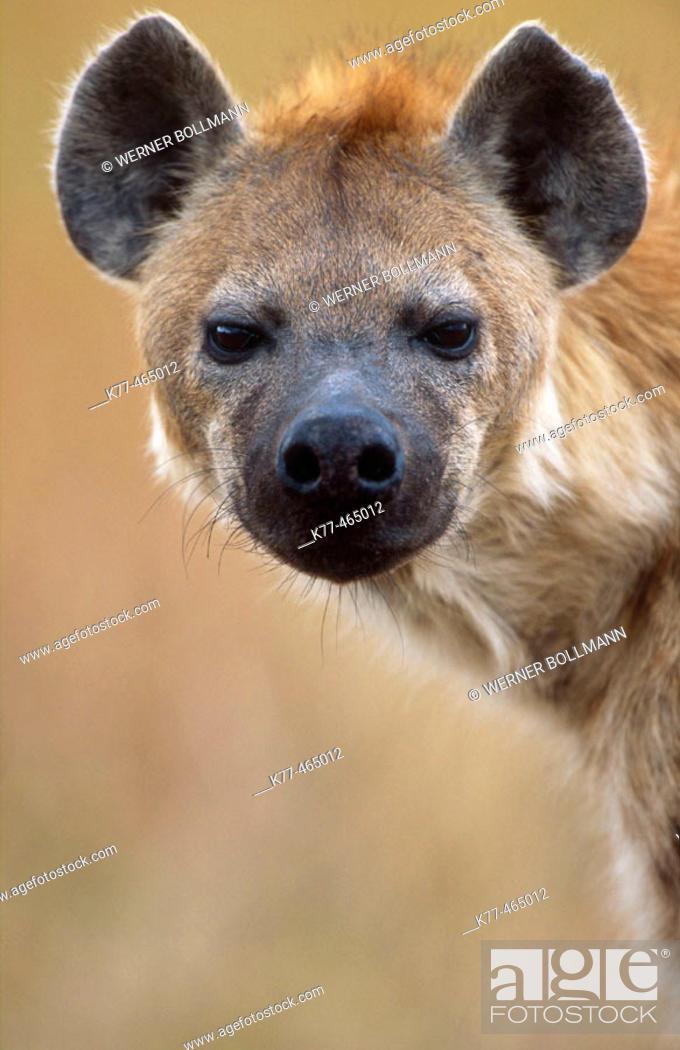 Stock Photo: Hyaena, portrait (Crocuta crocuta). Masai Mara G.R., Kenya.