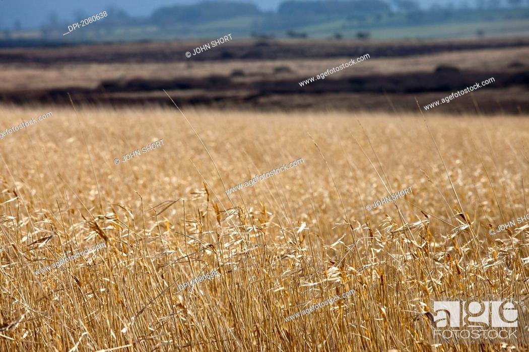 Stock Photo: Tall grass in a field, northumberland england.