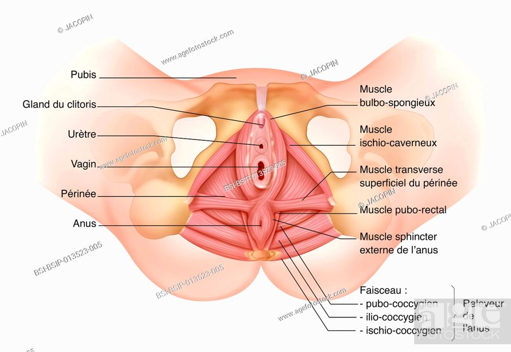 Illustration of the perineum from below, highlighting the female ...