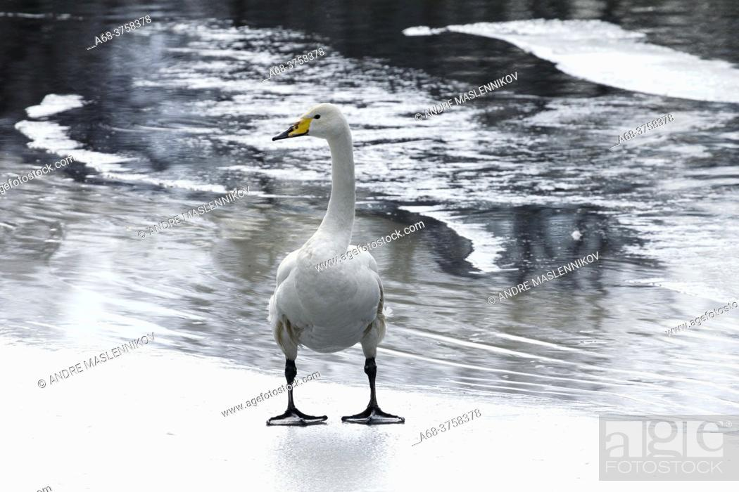 Stock Photo: The whooper swan, common swan on ice.