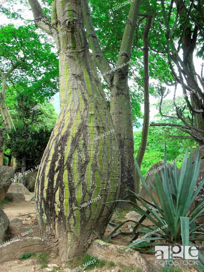 Stock Photo: Pseudobombax septenatum tree, Parque del Este, Caracas, Venezuela.