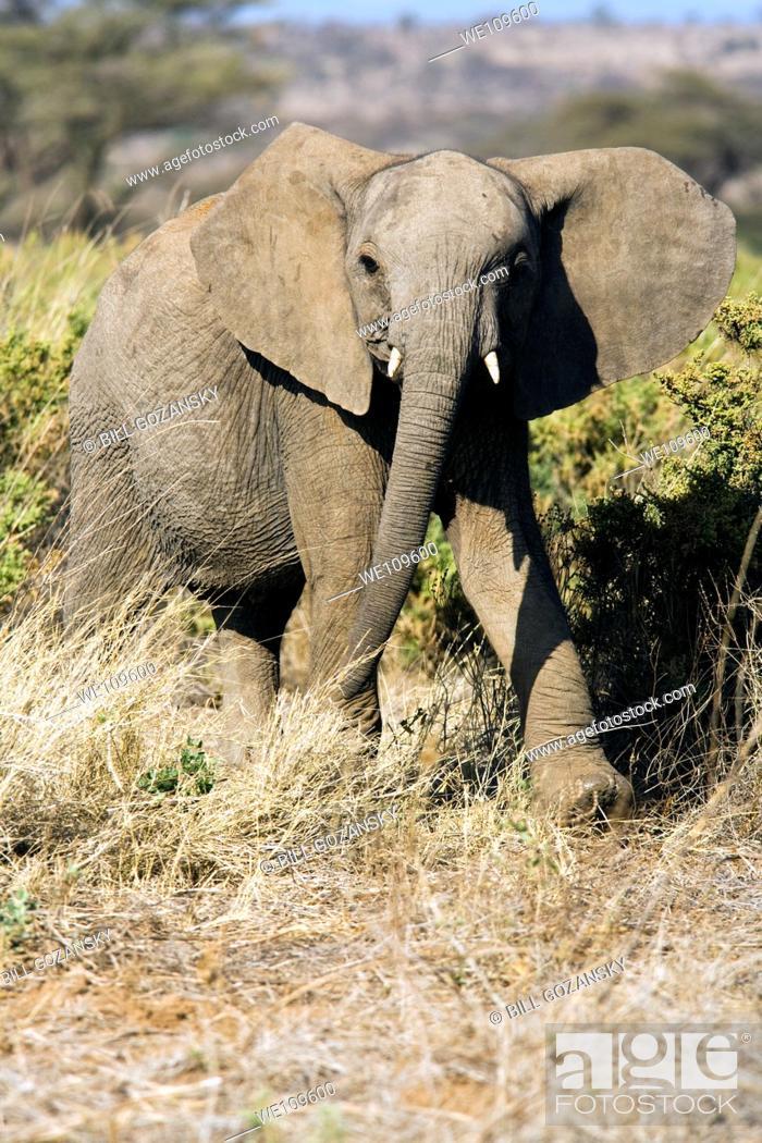Stock Photo: African Elephant - Samburu National Reserve, Kenya.