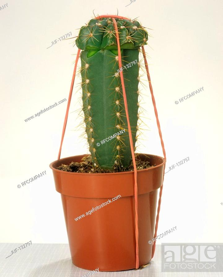Stock Photo: grafted cactus with fastening.