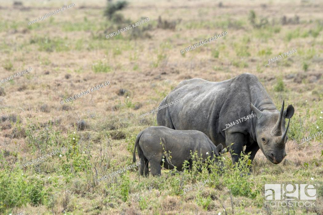 Stock Photo: An endangered black rhinoceros or hook-lipped rhinoceros (Diceros bicornis) female and baby at the Lewa Wildlife Conservancy in Kenya.