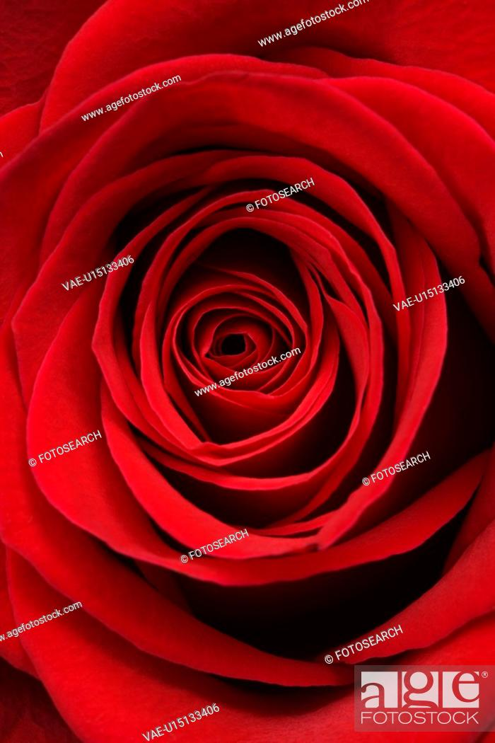 Stock Photo: Close-up of red rose.