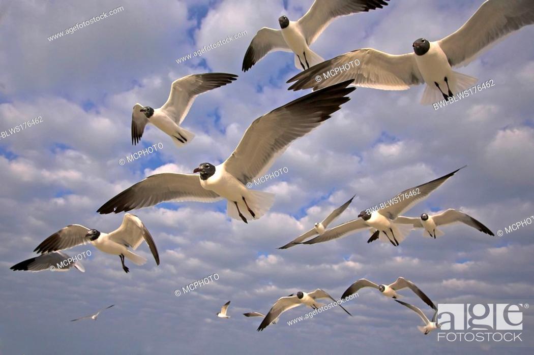 Stock Photo: laughing gull Larus atricilla, flying, USA, Florida.