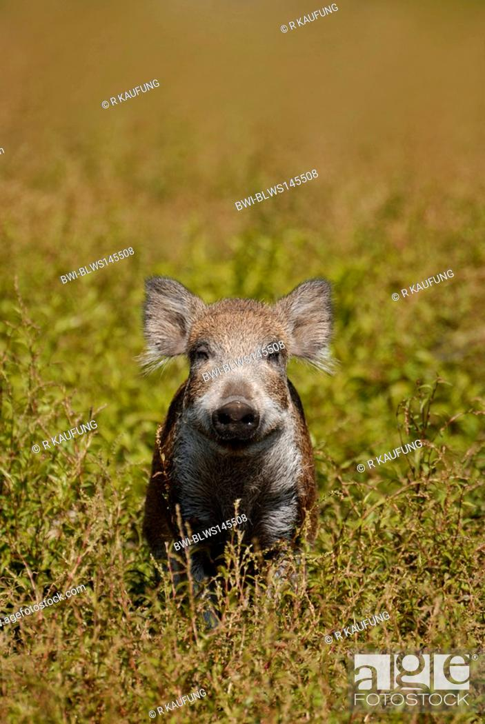 Stock Photo: wild boar, pig, wild boar Sus scrofa, shote on clearing, Germany.