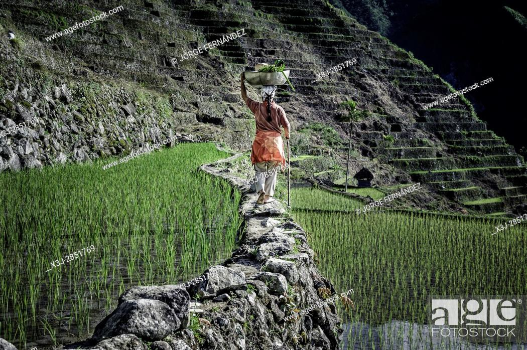 Stock Photo: Woman walking along the rice terraces with a load on her head.
