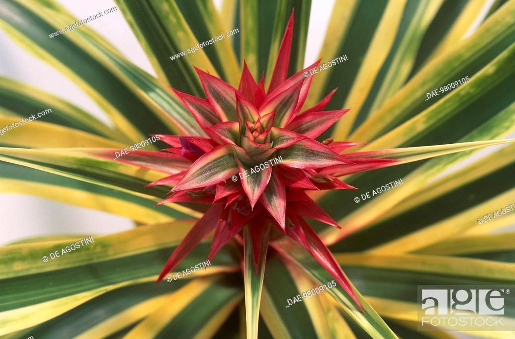 Stock Photo: Pineapple flower (Ananas comosus), Bromeliaceae.