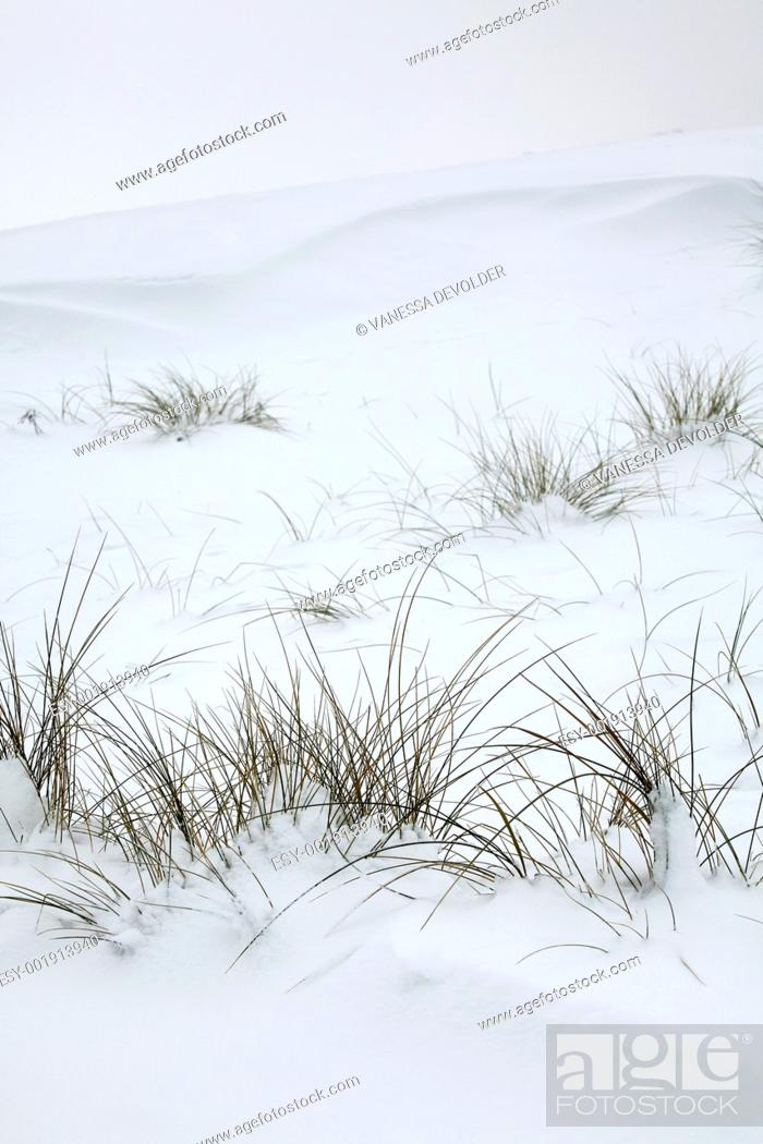 Stock Photo: Dunes and grasses covered with snow.
