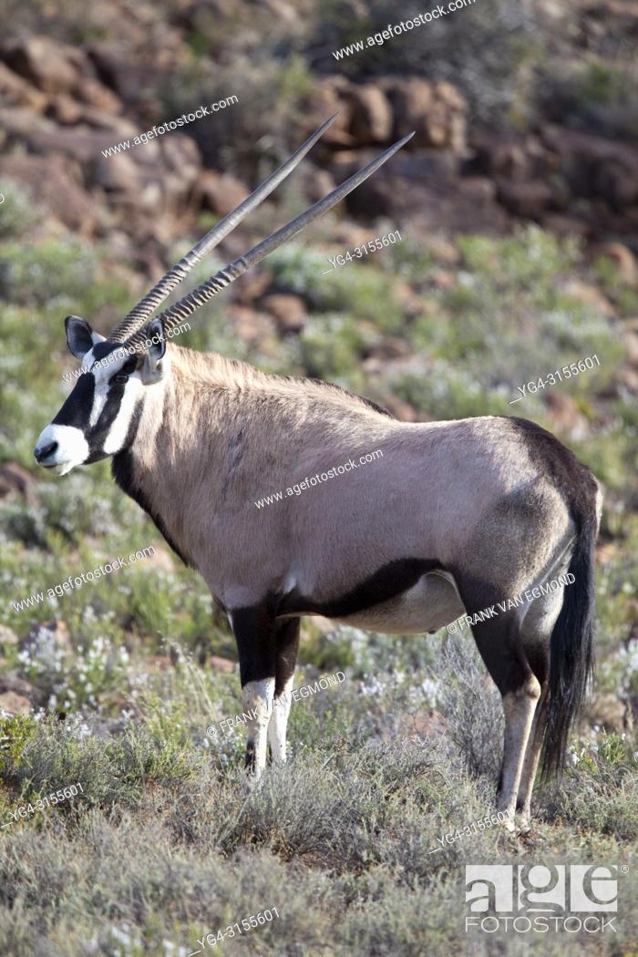 Stock Photo: Gemsbok, Karoo National Park.