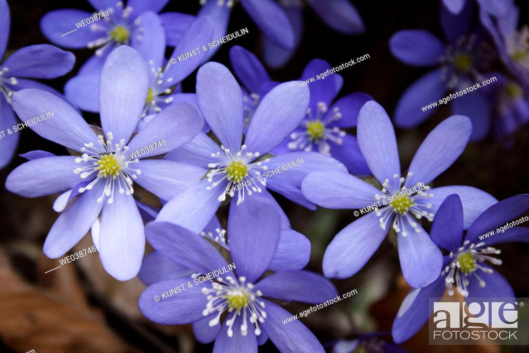 Stock Photo: Hepatica nobilis. Teuchl, Penk, Mölltal, Carinthia. Austria.