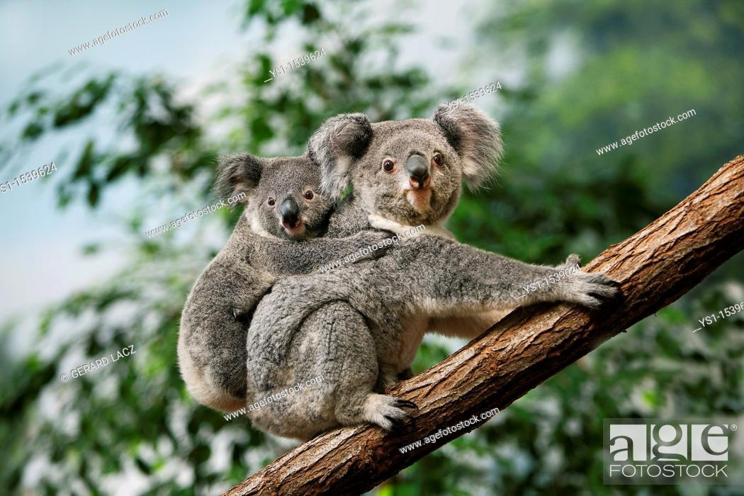 Stock Photo: Koala, phascolarctos cinereus, Female carrying Young on its Back.