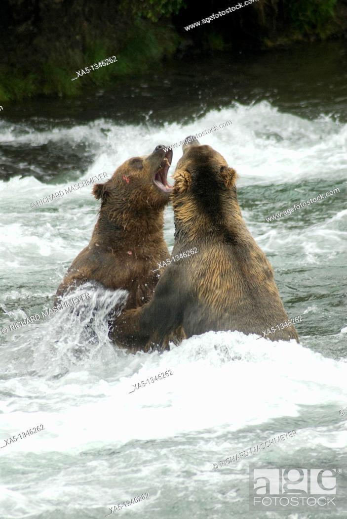 Stock Photo: Brown Bears sparing for salmon fishing position, Brooks Camp, Katmai National Park, Alaska, USA.