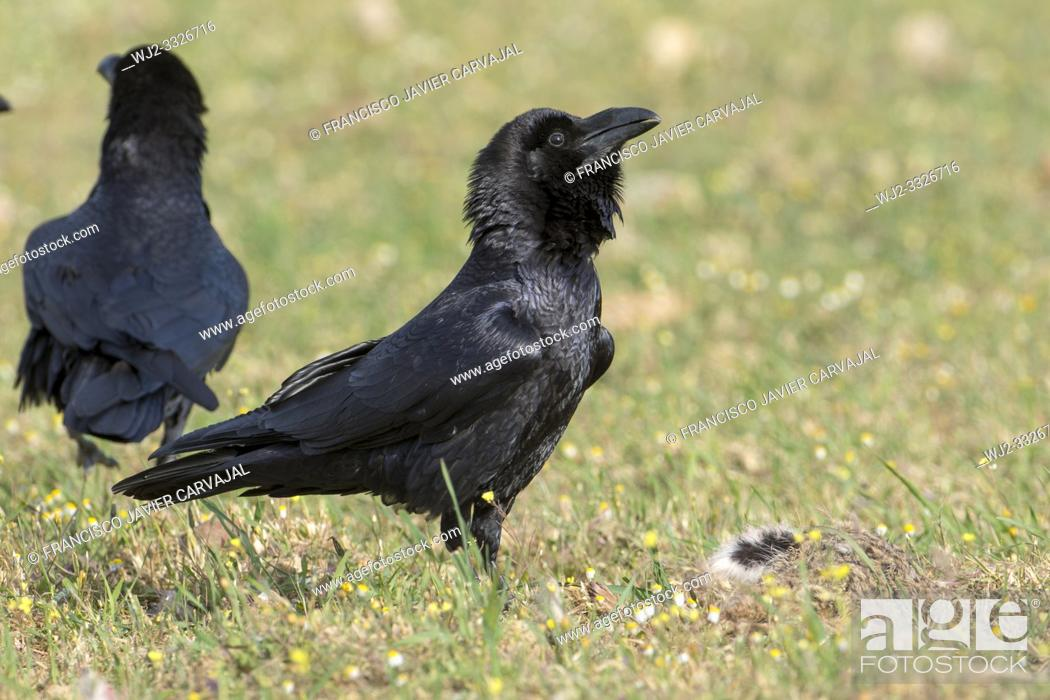 Imagen: Common Raven (Corvus corax) walking on the floor of the Dehesa, Extremadura, Spain.