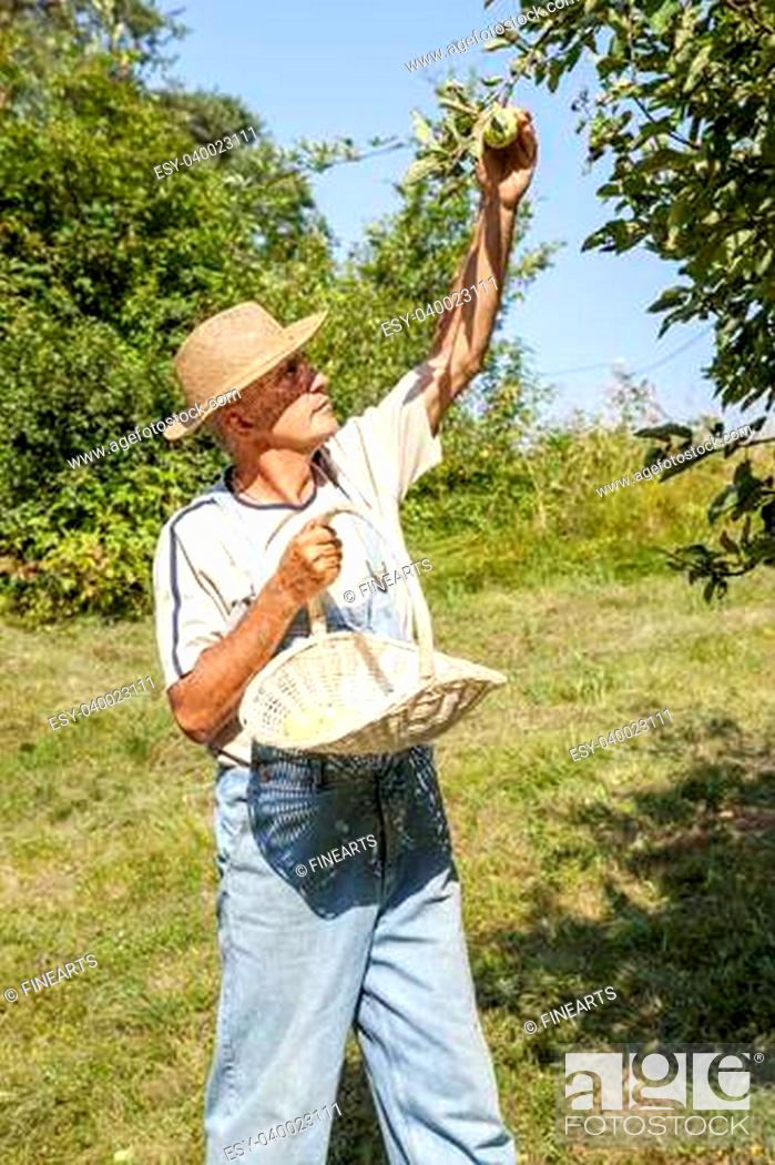 Stock Photo: Happy gardener with straw hat and bib overalls picking organic apples from an apple tree on a lovely sunny summer day.