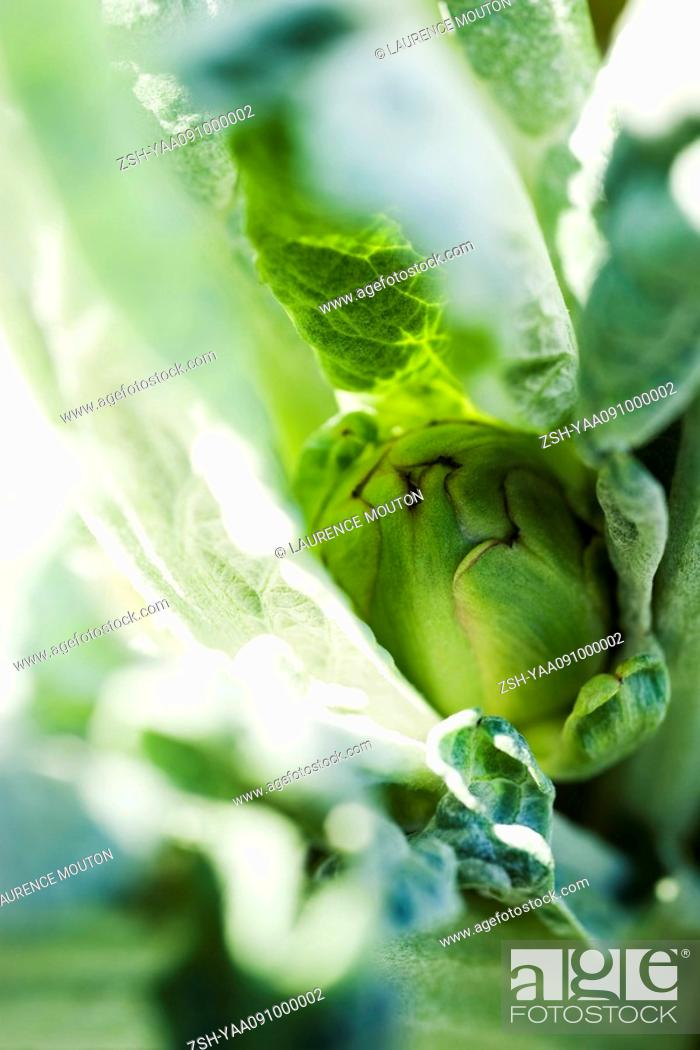 Stock Photo: Artichoke growing, extreme close-up.