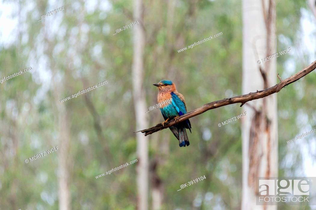 Stock Photo: Indian Roller (Coracias benghalensis) on branch, Nagarhole National Park, Karnataka, India.
