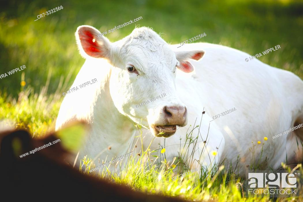 Stock Photo: Cow lying down in summer field.