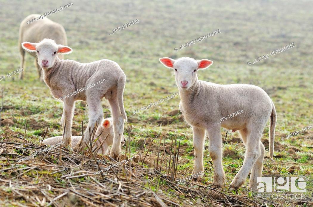 Stock Photo: Merino lambs Badajoz province Extremadura Spain.
