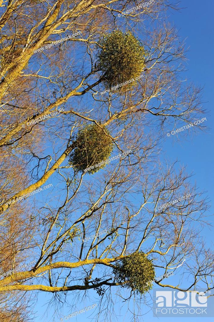 Imagen: mistletoe growing on old willow tree, Eure-et-Loir department, Centre region, France, Europe.