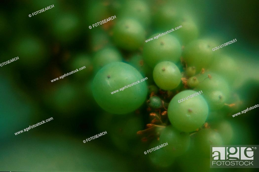 Stock Photo: Muscat Grapes.