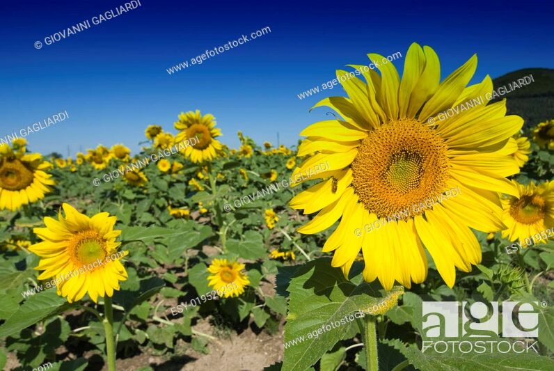 Stock Photo: Sunflowers on a Tuscan Meadow.