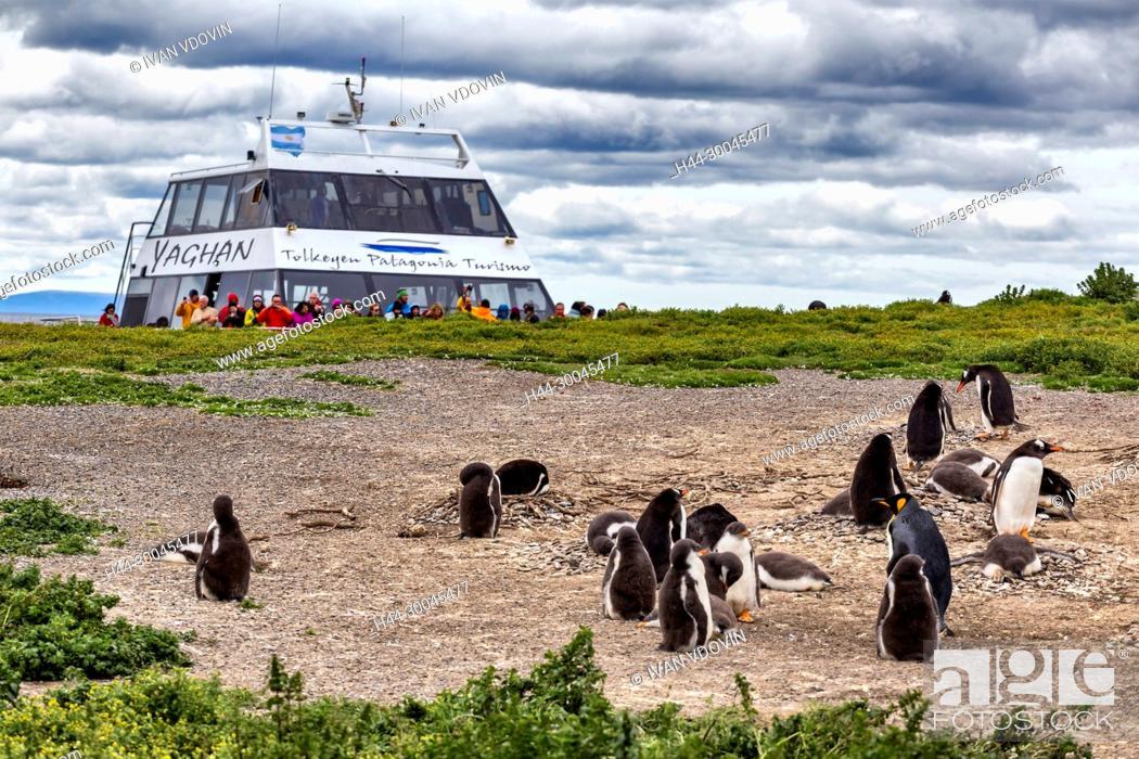 Stock Photo: Magellanic Penguins, Martillo Island, Tierra del Fuego National park, Isla Grande del Tierra del Fuego, Tierra del Fuego, Antartida e Islas del Atlantico Sur.