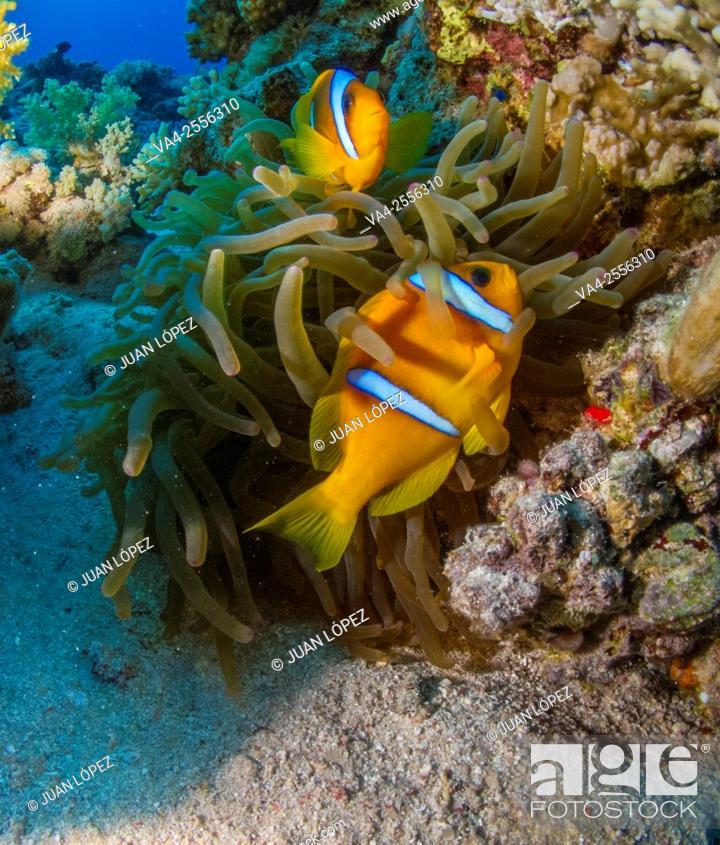 Stock Photo: Clown fish Amphiprion bicinctus. Red Sea, Sharm el-Sheikh, Egypt.