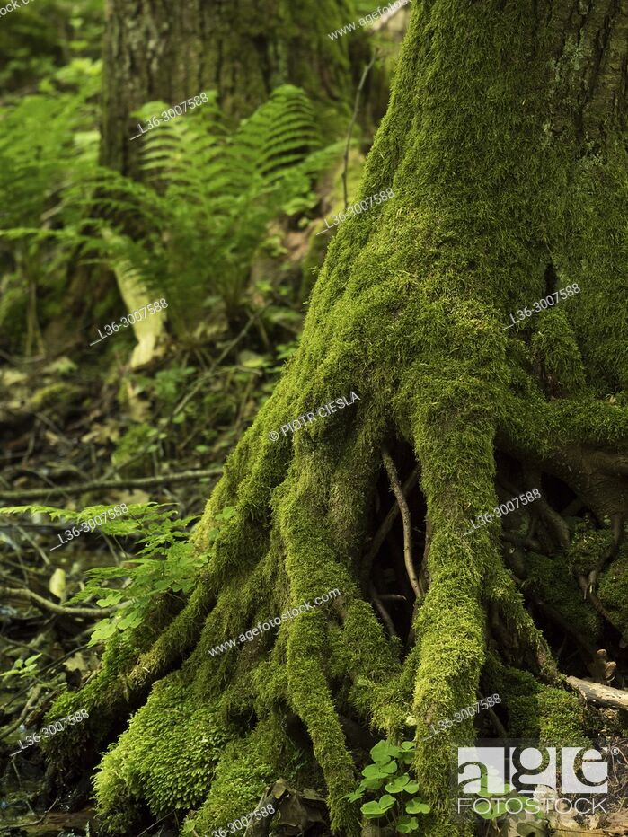Stock Photo: Old tree and fern. Poland.