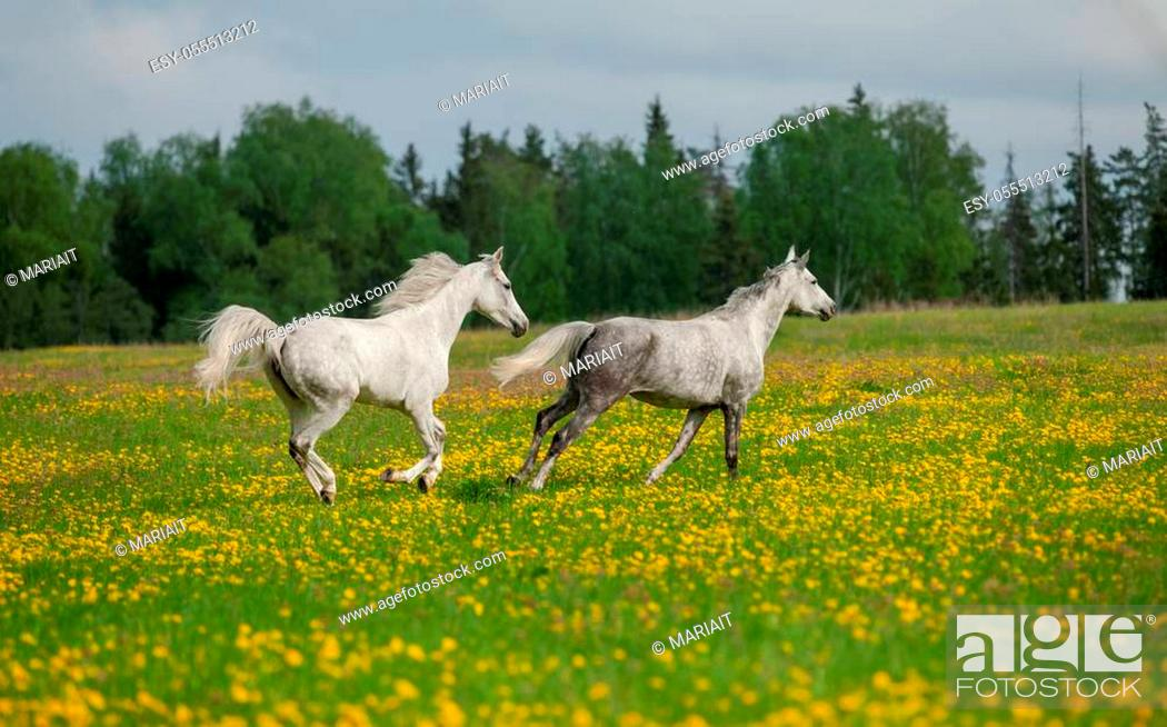 Stock Photo: Gray arabian horses running free in the field of dandelions with trees and sky on the background.