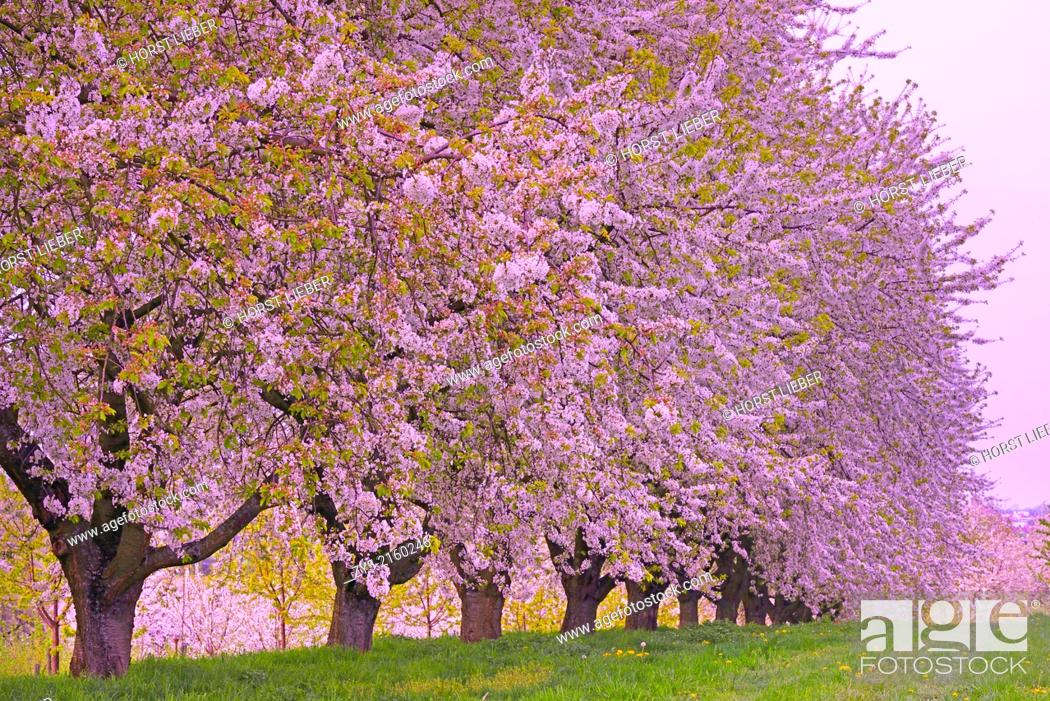 Stock Photo: The fruit tree blossom in Ortenau, Baden-Württemberg, Germany.