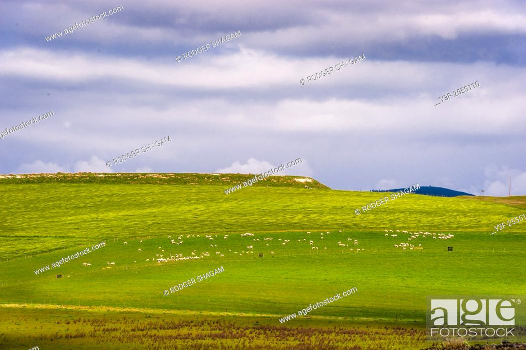 Stock Photo: Sheep graze peacefully on distant meadows. Western Cape Province, South Africa. A pastoral scene.