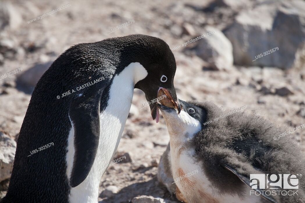 Stock Photo: Antarctica. Adelie penguins (Pygoscelis adeliae) on the rocky beach of Brown Bluff. Adélie penguin feeding its chick by regurgitating what he has just captured.