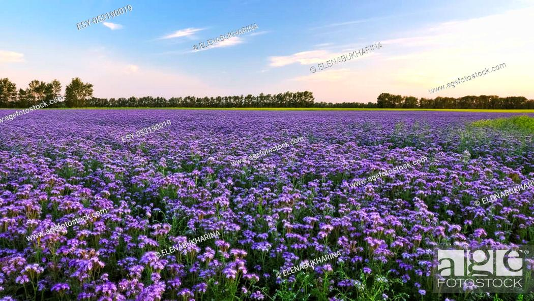 Purple Flowers Field On The Sunset Phacelia Plantation Honey Plants Stock Photo Picture And Low Budget Royalty Free Image Pic Esy 053190019 Agefotostock