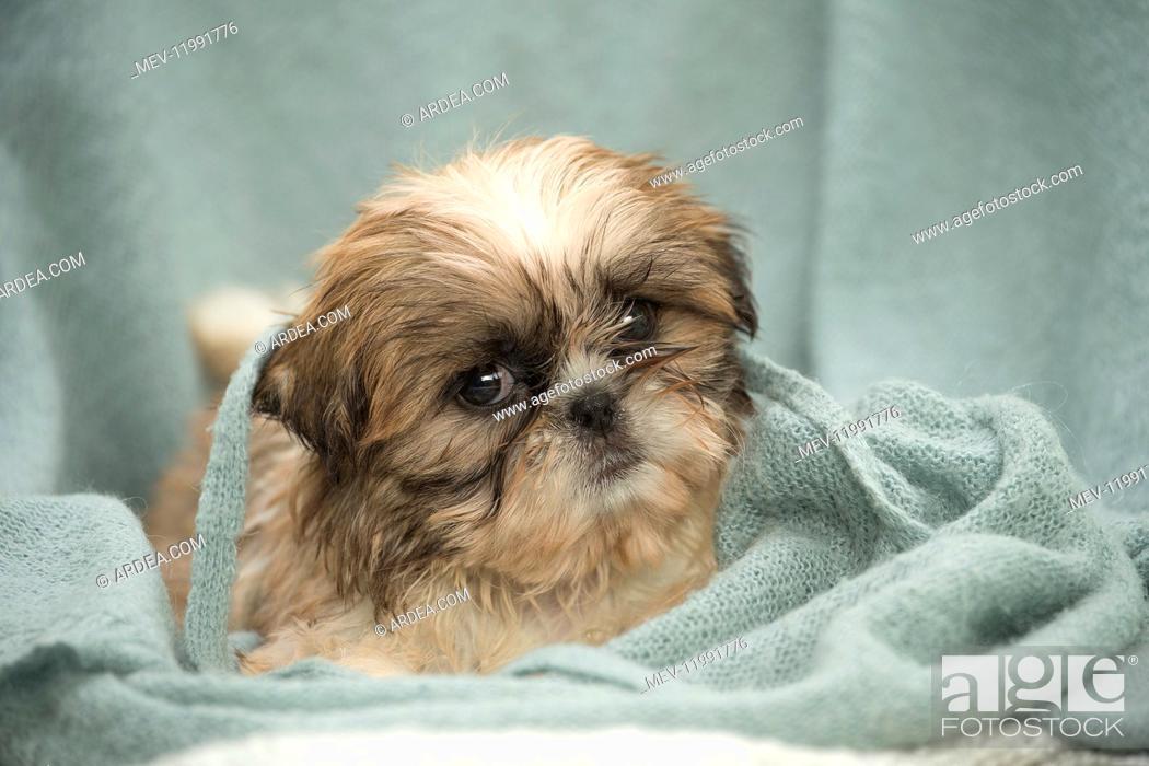 Imagen: Shih Tzu Dog, puppy.