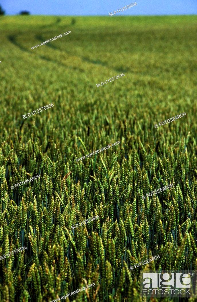 Stock Photo: Close-up of a field of grains.