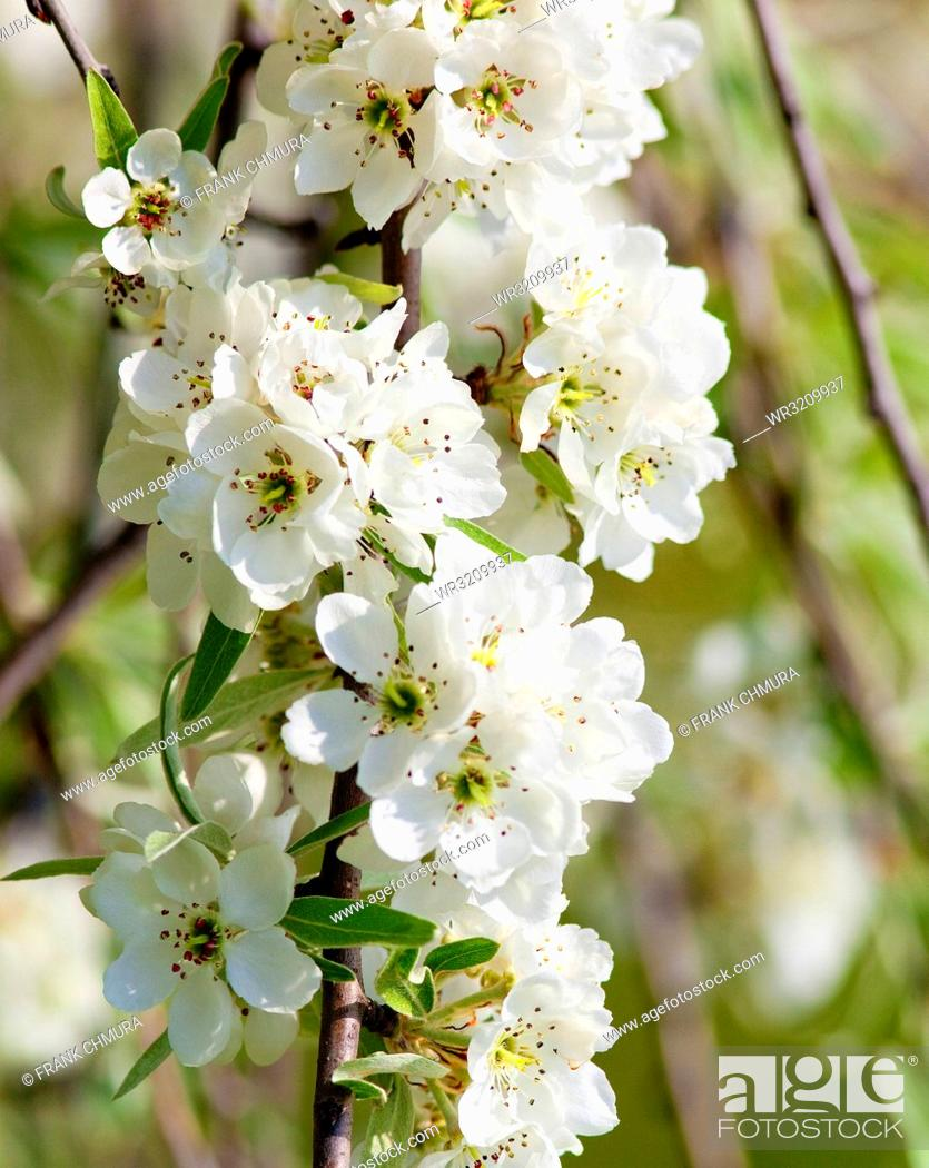 Stock Photo: Closeup of Cherry Flower at Blossom in Spring.