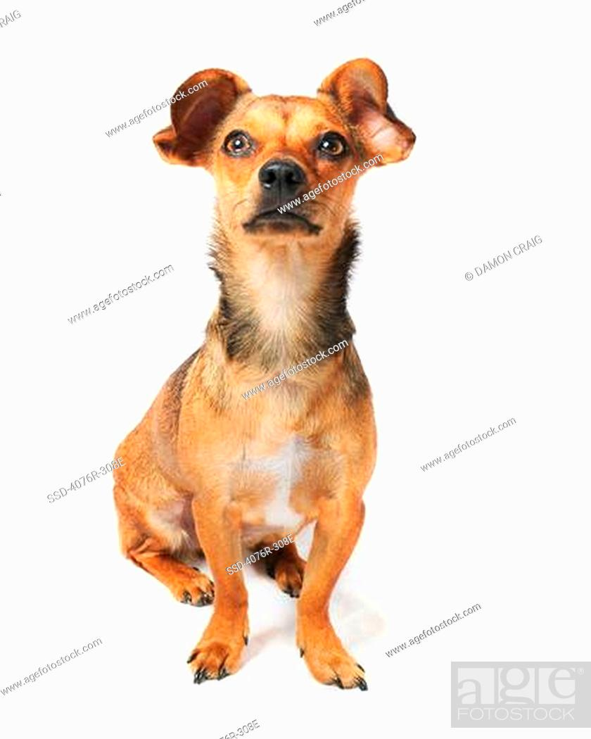 Chiweenie Dog A Crossbreed Of Chihuahua And Dachshund Stock Photo
