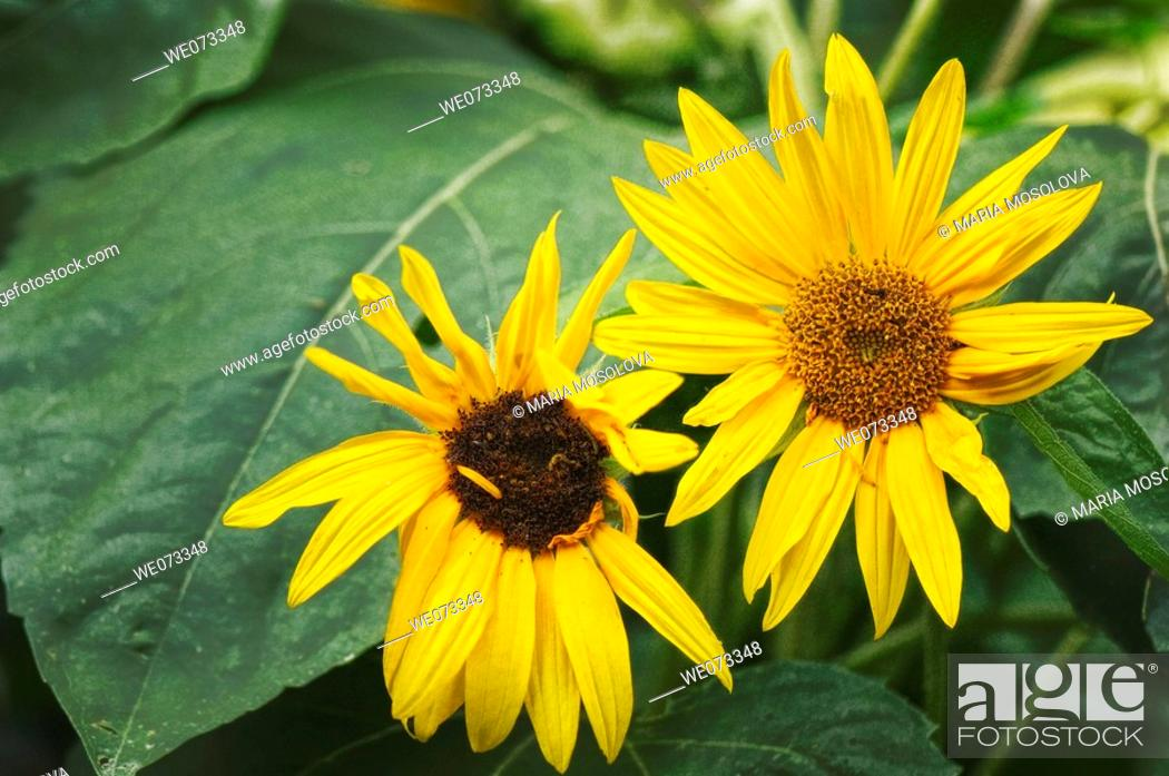 Stock Photo: Sunflower Pair. Helianthus annuus. June 2007, Maryland, USA.