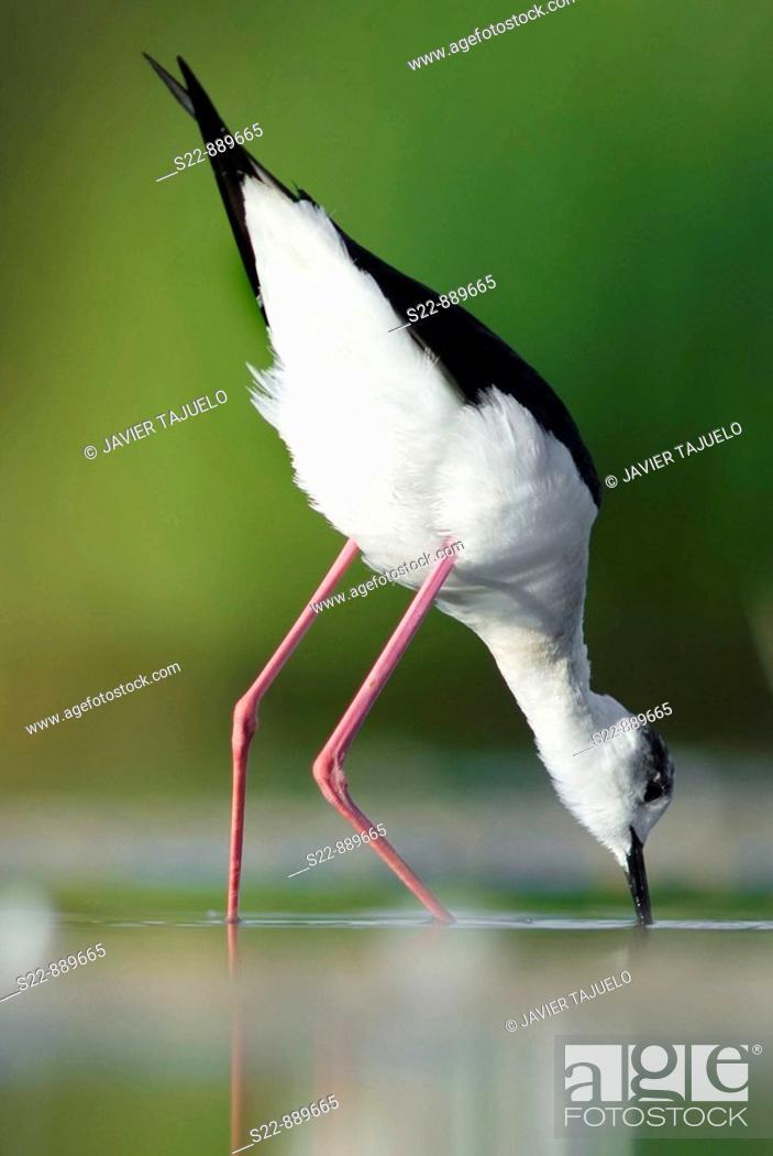 Stock Photo: Black.winged Stilt (Himantopus himantopus).