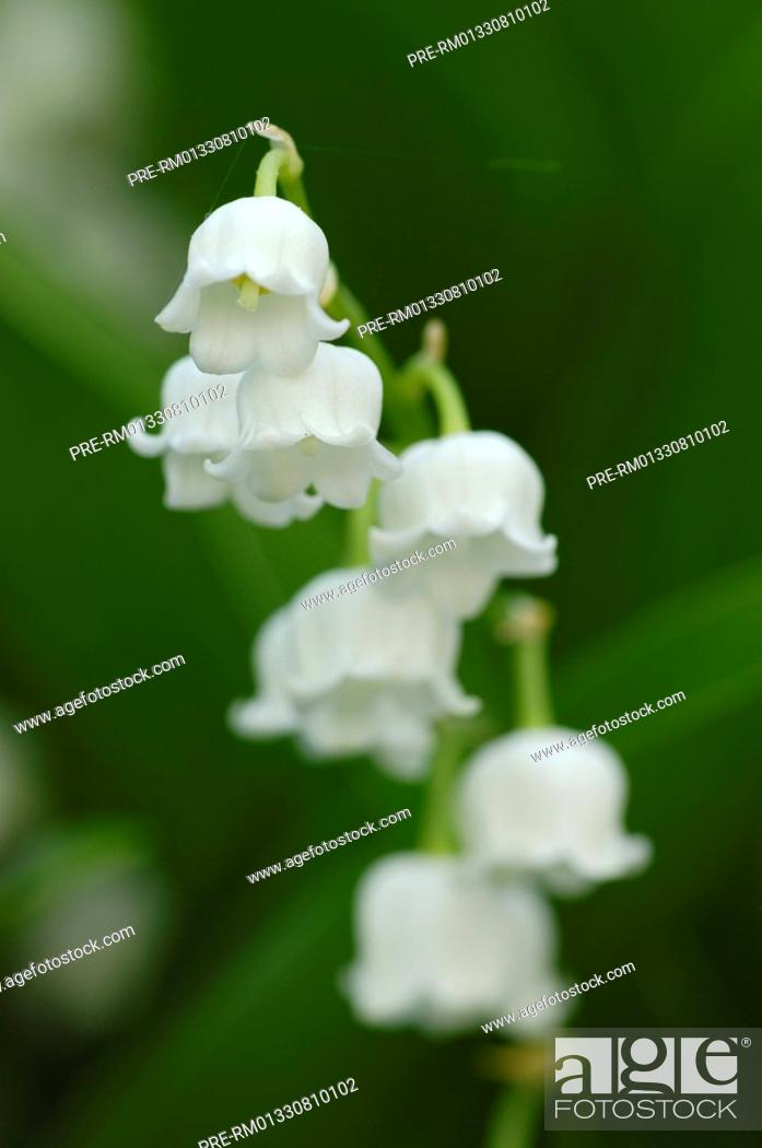 Stock Photo: Lily of the Valley, Lily-of-the-Valley , Convallaria majalis.