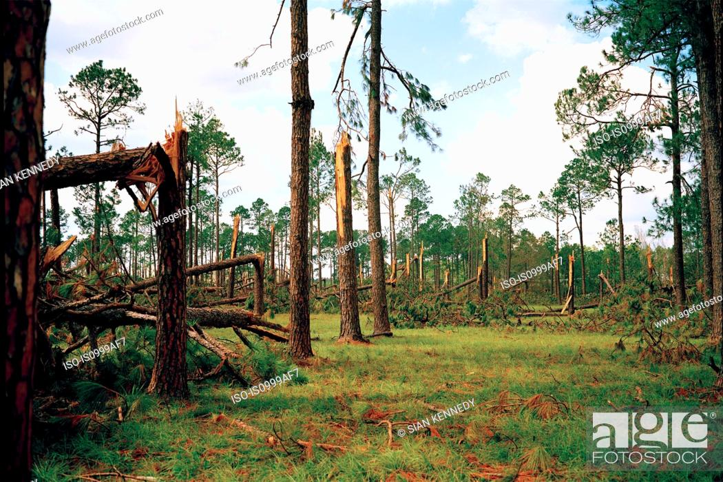 Stock Photo: Forest blown over by Hurricane Katrina, Woodville, USA.