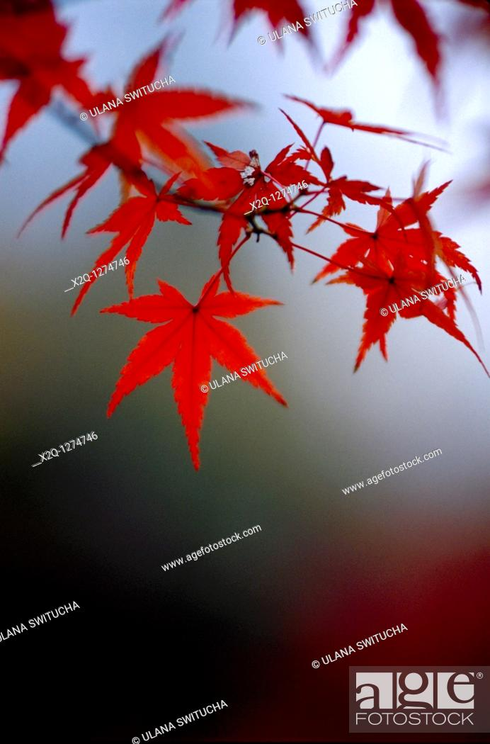 Stock Photo: Japanese maple leaf Acer Japonicum branch at Kyoto Japan.